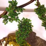 olmo bonsai di perline
