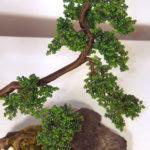 olmo bonsai spazzato dal vento